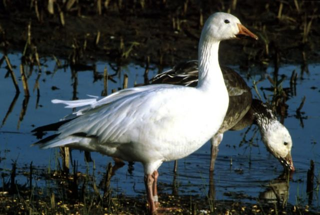 Snow Goose Picture