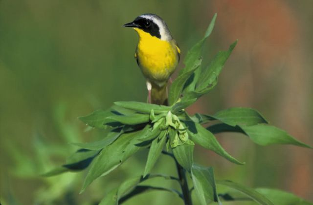 Common Yellowthroat Picture