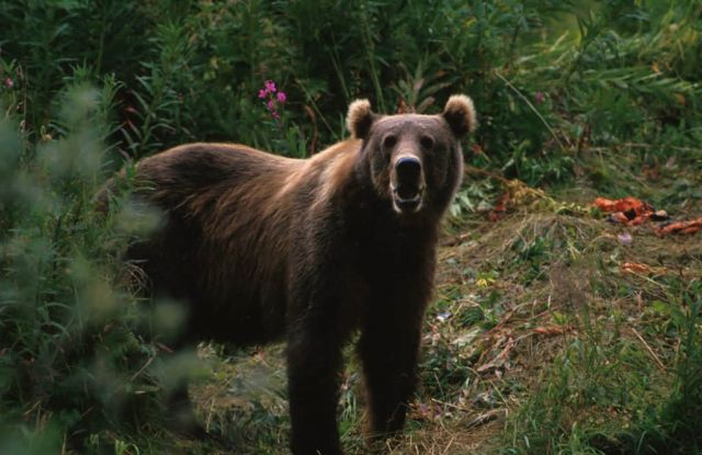 Kodiak Brown Bear Picture