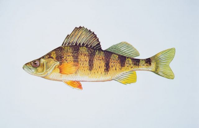 Yellow perch Picture