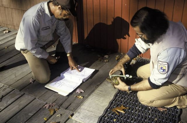 FWS Biologists Study Eastern Box Turtles Picture