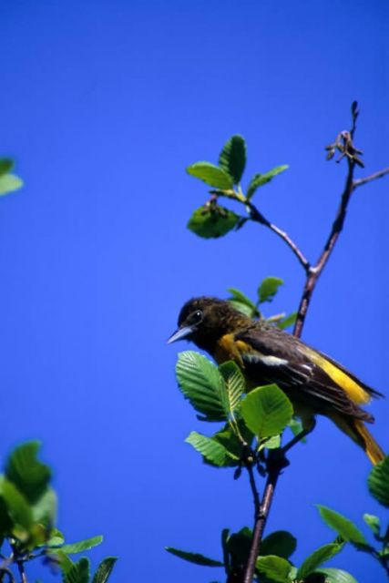 Northern Oriole Picture