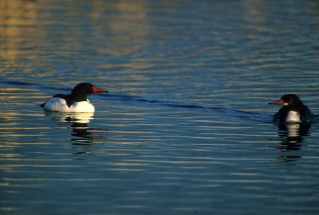 Common Merganser Picture