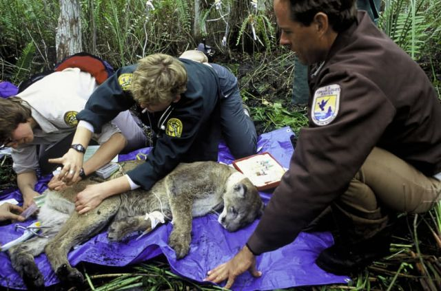 Florida Panther Research Picture