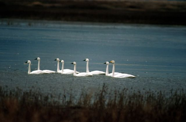 Tundra swans Picture