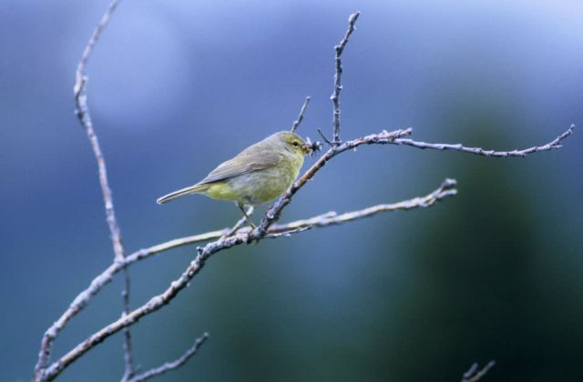 Orange-crowned warbler Picture