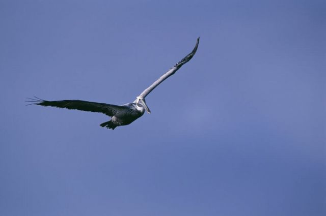 Brown Pelican Soars Above Pelican Island NWR Picture