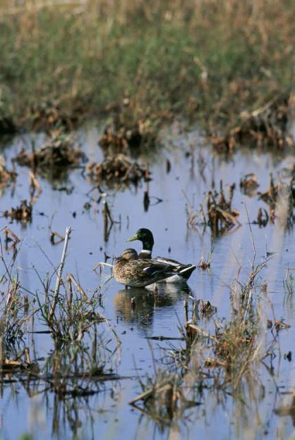 Mallard ducks in a Wetland Picture