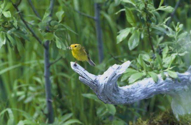 Wilson's warbler Picture