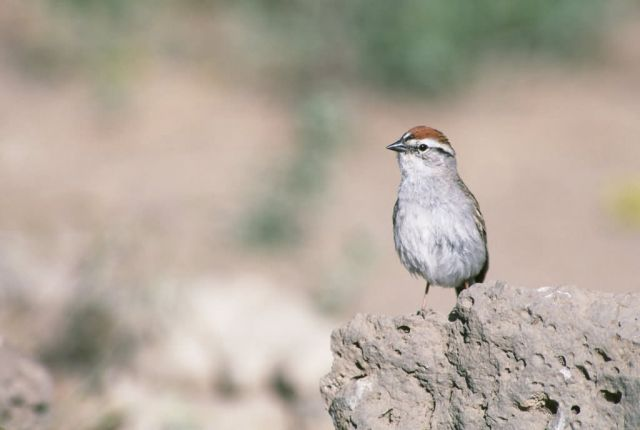Chipping Sparrow Picture