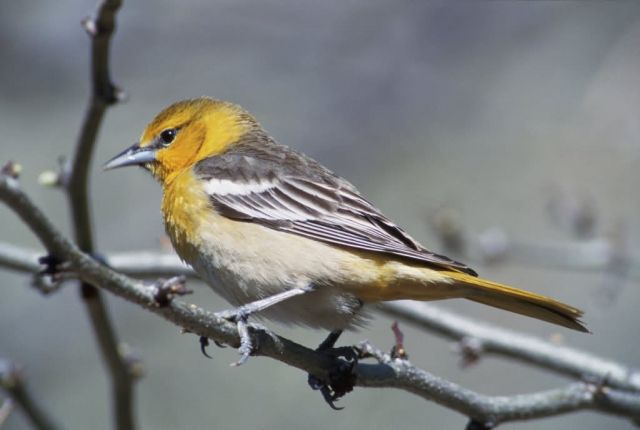Bullock's Oriole- female Picture
