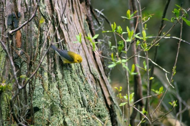 Prothonotary Warbler Picture