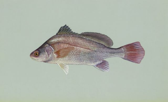 Freshwater drum Picture