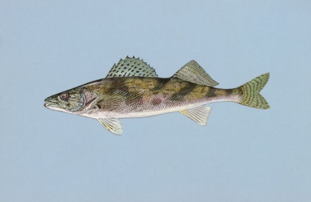 Sauger Picture