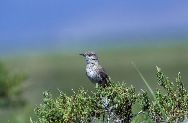 Sage Thrasher Picture
