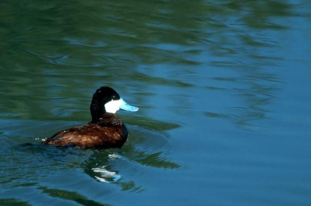 Ruddy duck Picture
