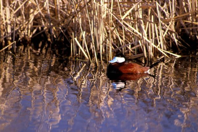 Ruddy duck Picture