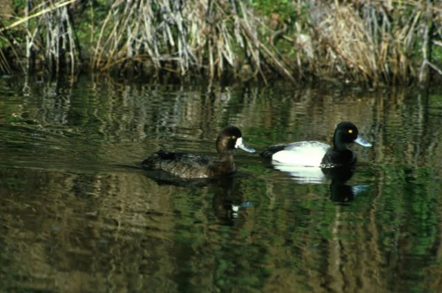 Lesser Scaup Picture