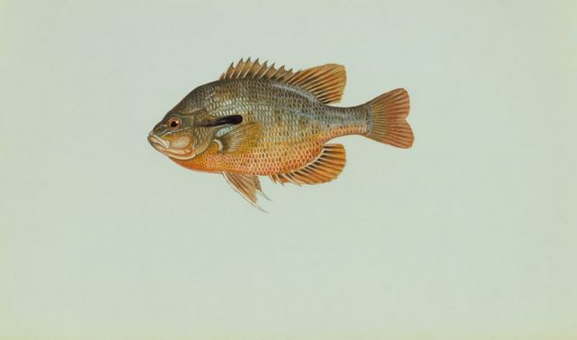 Redbreast sunfish Picture
