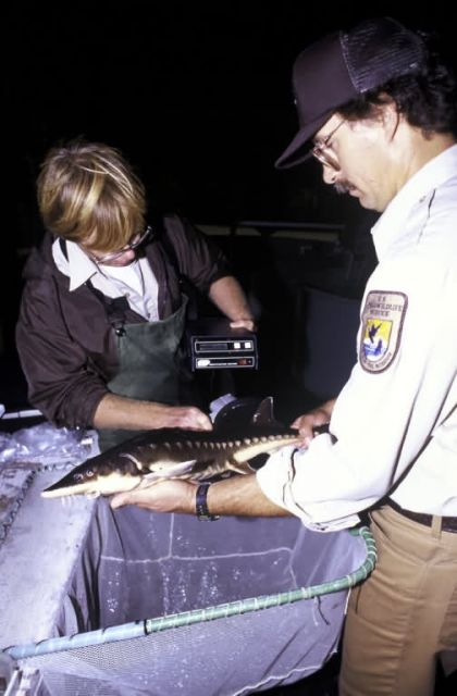 FWS Sturgeon Research Picture