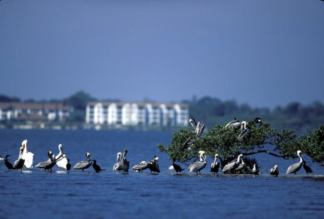 White and Brown Pelicans Gather on Pelican Island NWR Picture