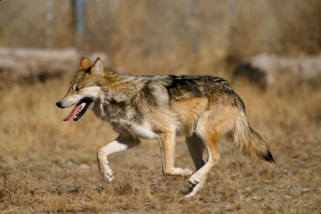 Mexican Wolf Picture