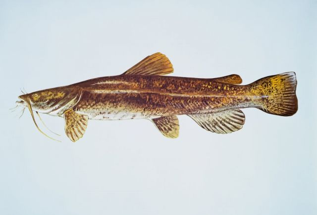 Flathead catfish Picture