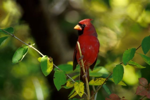 Cardinal Picture