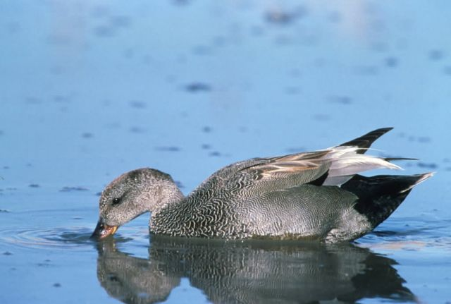 Gadwall Picture
