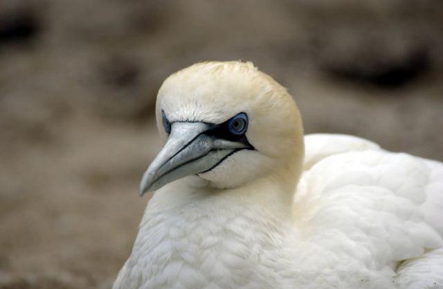 Northern Gannet Picture