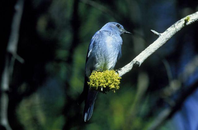 Mountain Bluebird Picture