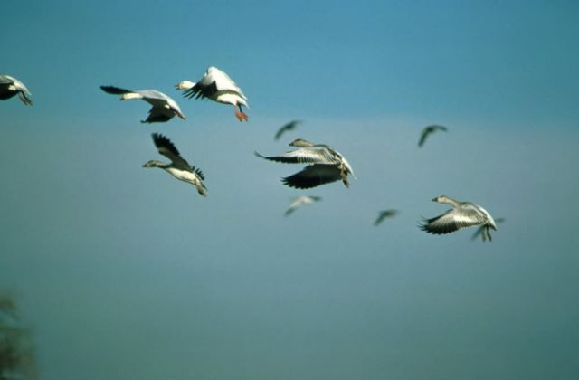 Snow Geese in flight Picture