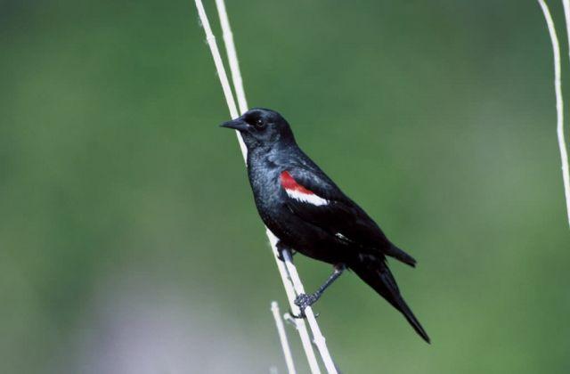 Tricolor blackbird Picture