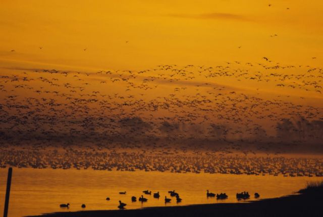 Geese fly in at sunrise Picture