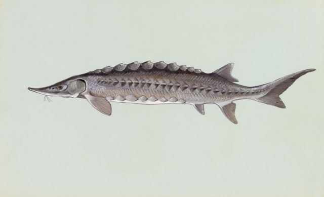 Atlantic Sturgeon Picture