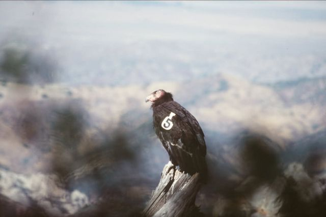 California Condor Picture