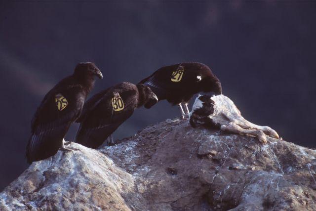 California Condor Picture