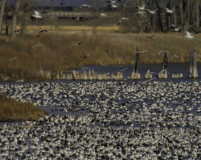 Flock of Lesser Snow Geese at Desoto NWR Picture