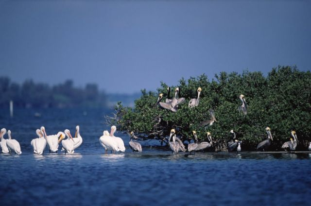 Brown and White Pelicans Rest On Pelican Island NWR Picture
