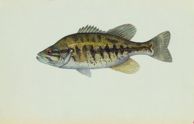 Suwannee bass Picture