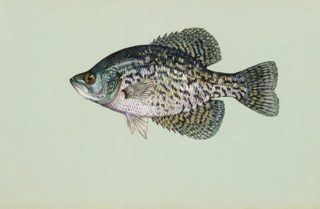 Black crappie Picture