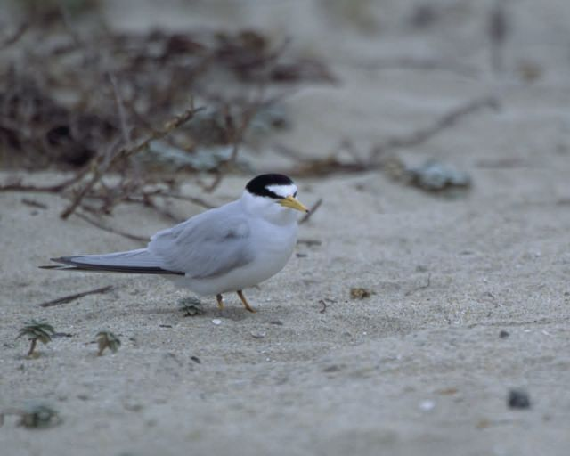Endangered California Least Tern Picture