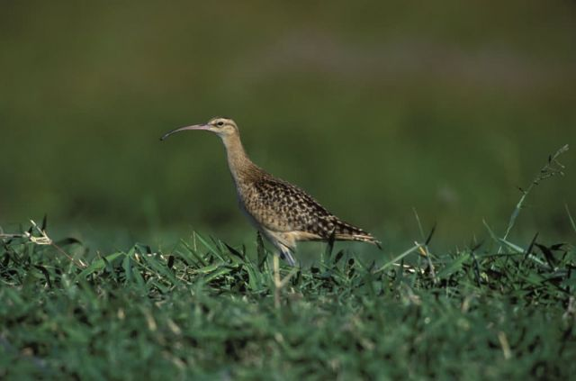 Bristle-thighed Curlew Picture