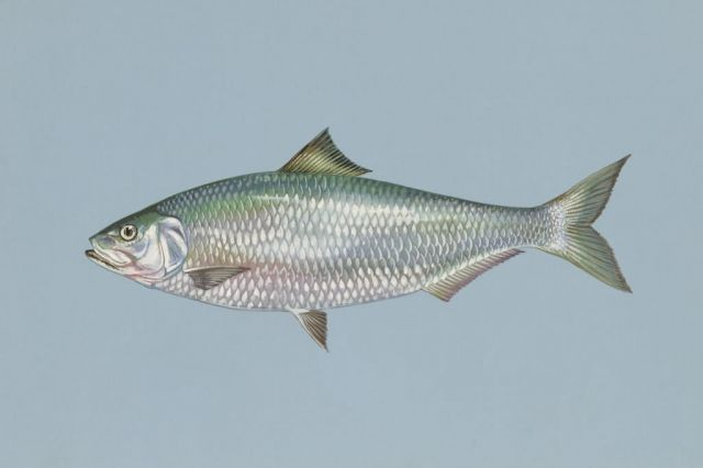 Alabama shad Picture