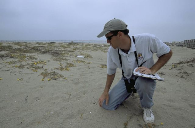 FWS Biologist Checks California Least Tern Nest with Eggs Picture