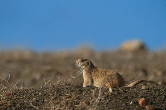 Black- tailed prairie dog Picture