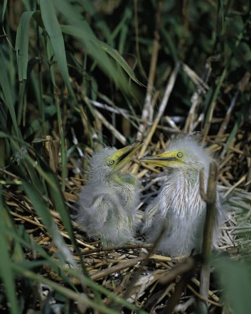 Snowy Egret chicks at Delta NWR, Louisiana Picture