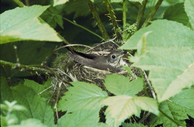 Gray-cheeked thrush Picture