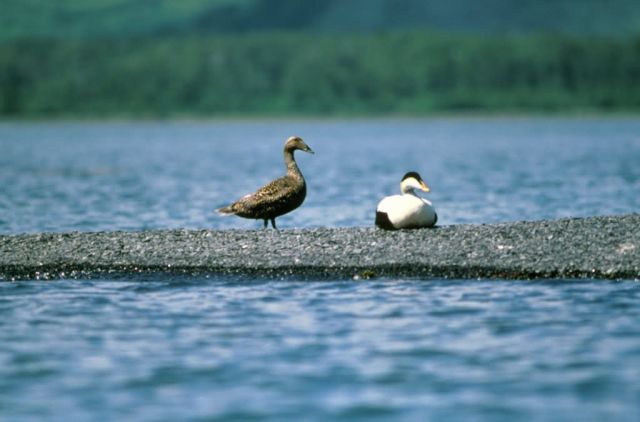 Common Eider Picture