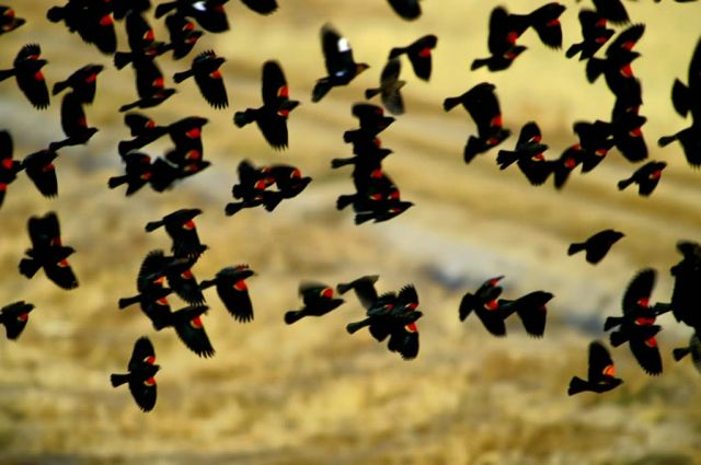 Red-winged Blackbirds Picture
